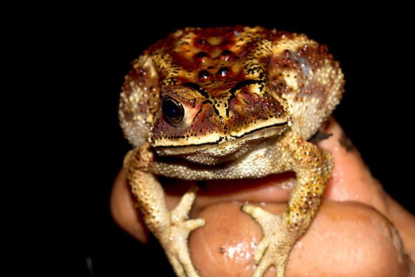 Duttaphrynus melanosticus. Photo by: Shashank Dalvi/Krithi Karanth/CWS.