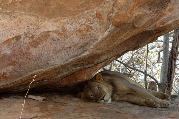 Lion resting under Batwa rock paintings. Humans evolved in Africa beside lions. Photo by: Niassa Carnivore Project.