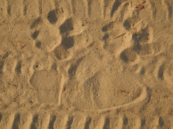 Lion and human footprints side-by-side in Niassa National Reserve. Photo by: Niassa Carnivore Project.