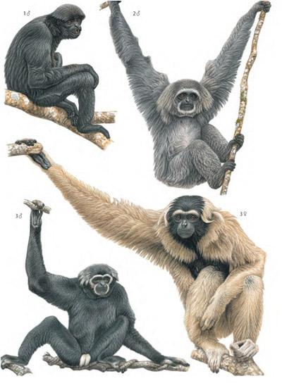 Gibbons. Illustration by: Francois Desbordes.
