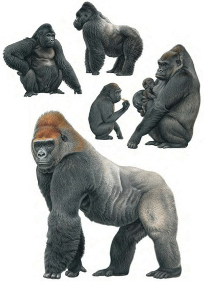 Gorillas. Illustration by: Francois Desbordes.