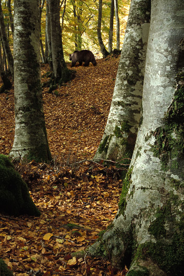 Marsican bears disappears into the forest. Photo by: Gaetano de Persiis.
