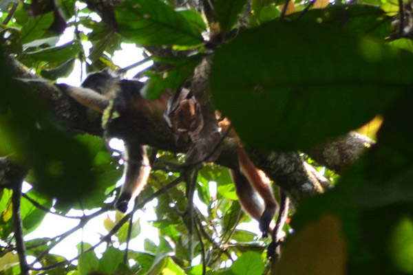Rare photo of Niger Delta red colobus lounging in a tree. Photo by: Rachel Ashegbofe Ikemeh.