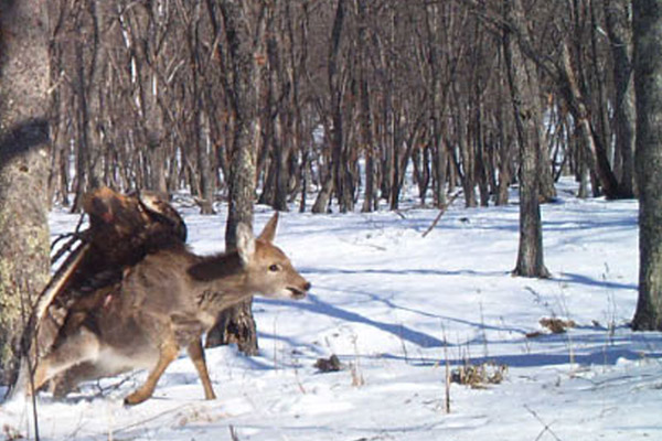Golden eagle launches itself onto deer in Lazovskii State Nature Reserve. Photo by: Linda Kerley.