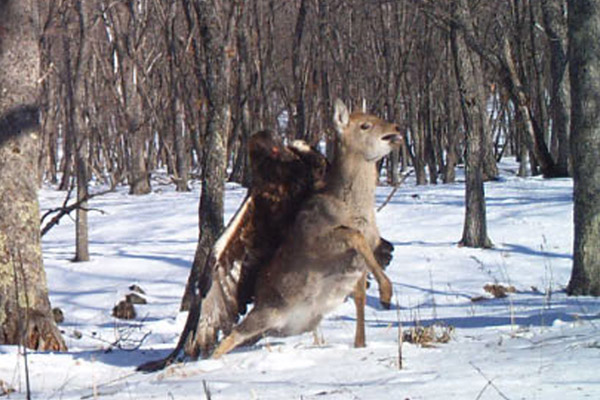 Deer appears to struggle to free itself. Photo by: Linda Kerley.