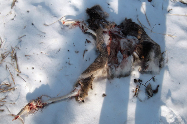 Young sika deer carcass found by Kerley. Photo by: Linda Kerley.