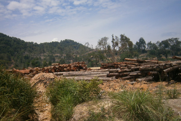 Logs from clearcut Bikam Forest Reserve, which will be turned into an oil palm plantation. Photo by: Meorrazak Meorabdulrahman.
