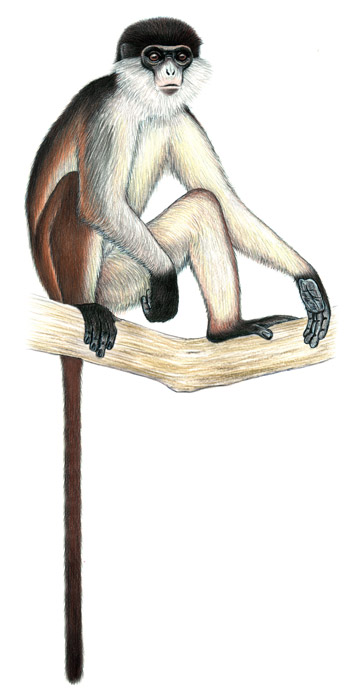 Niger Delta red colobus. Illustration by: Stephen Nash.
