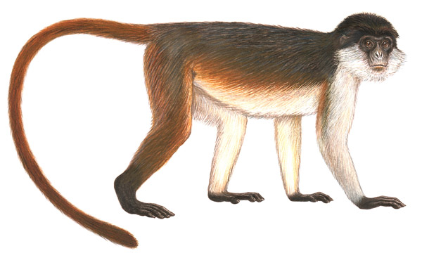 Another illustration of the Niger Delta red colobus. Illustration by: Stephen Nash.
