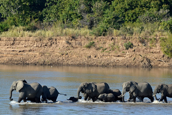 A herd of elephants in South Luangwa National Park, Zambia. Photo by: Gabriel Gallice.