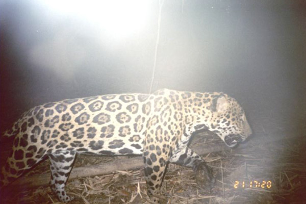 Jaguar in 2007. Photo by: Franklin E. Castañeda.