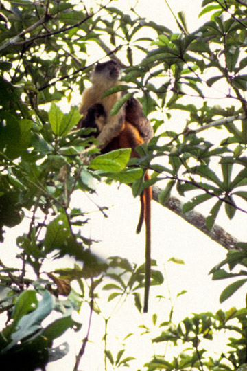 One of the clearest photos in the world of the Niger Delta red colobus. This is a female. Photo by: Noel Rowe.