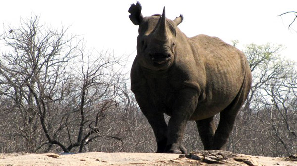 Black rhino named Stella. Photo by: LRT.