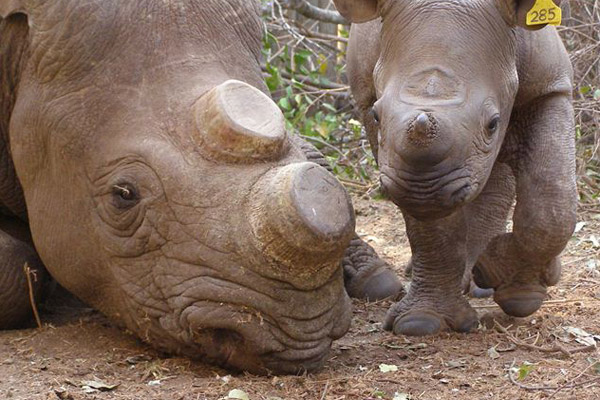 Dehorned rhino mother and calf before release back into the wild. Conservationists often dehorn rhino in a bid to make them less attractive to poachers. Photo by: LRT.