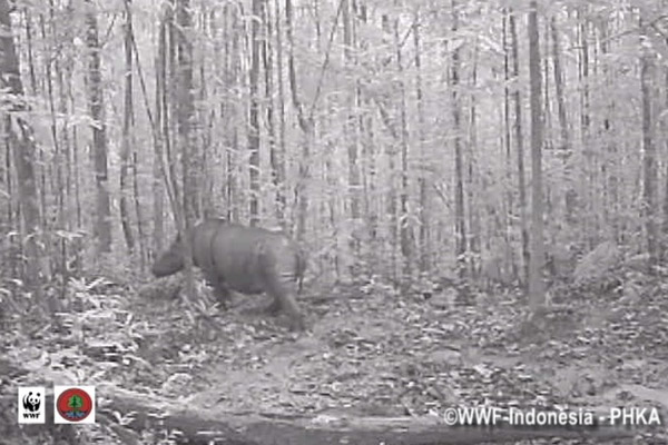 Still from camera trap video of Sumatran rhino in Kalimantan. Photo by:© WWF-Indonesia/PHKA.