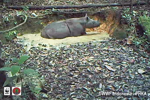 Still from camera trap video of Sumatran rhino in Kalimantan wallowing in a mud hole. Photo by:© WWF-Indonesia/ PHKA.