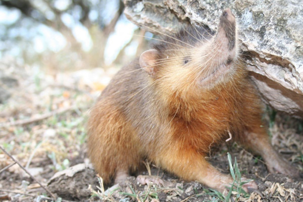 Hispaniolan solenodon. Photo by: Jose Numez-Mino.