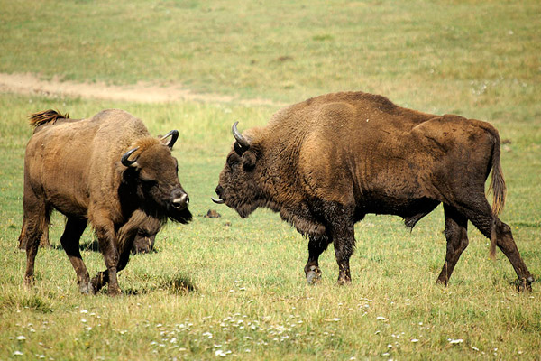 After a brush with extinction, European bison or wisent, are coming back. These individuals were photographed in France. Photo by: Valène Aure.