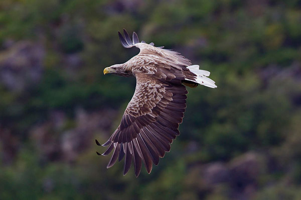 White-tailed sea eagle in Norway. Photo by: Yathin S Krishnappa.