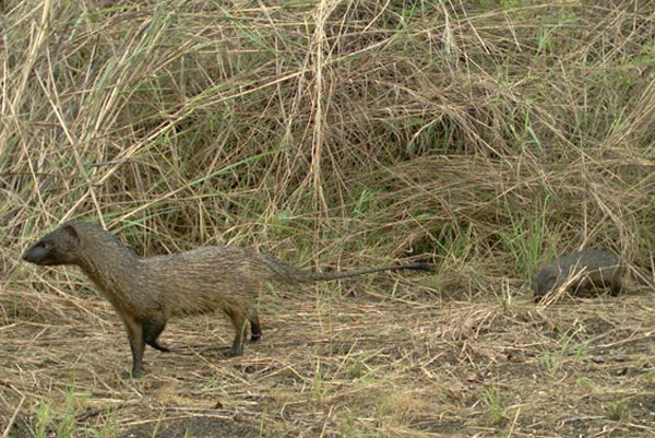 Egyptian mongoose with baby (on the right) in Gabon. Photo by:  Torsten Bohm.