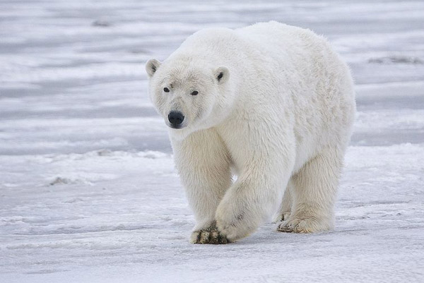 Polar bear in Alaska. Polar bears are the world's largest land carnivore. Photo by: Alan Wilson.