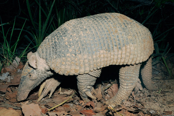 Massive, but little-known, the giant armadillo caught on cameratrap. Photo by: Kevin Schafer/The Pantanal Giant Armadillo Project.