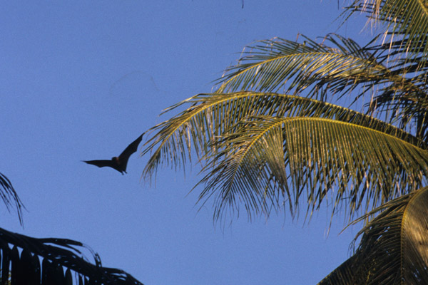 Few clear photos exist of Pteropus pelagicus. This is the flying fox on Oneop Island a part of the Mortlock Islands chain. Photo by: Danko Taborosi.