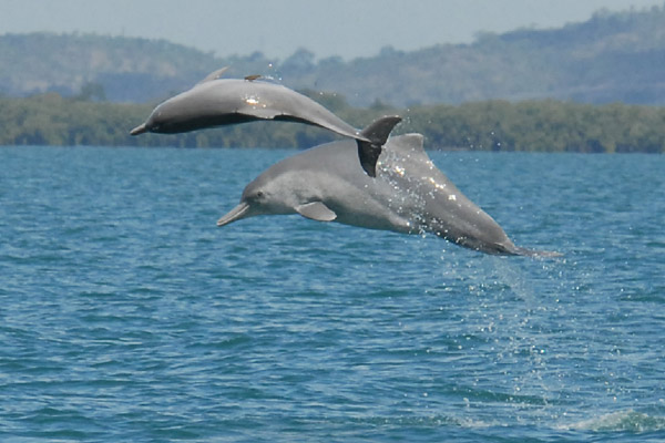 Two individuals of the newly identified humpback dolphin species. Photo credit: Guido Parra.