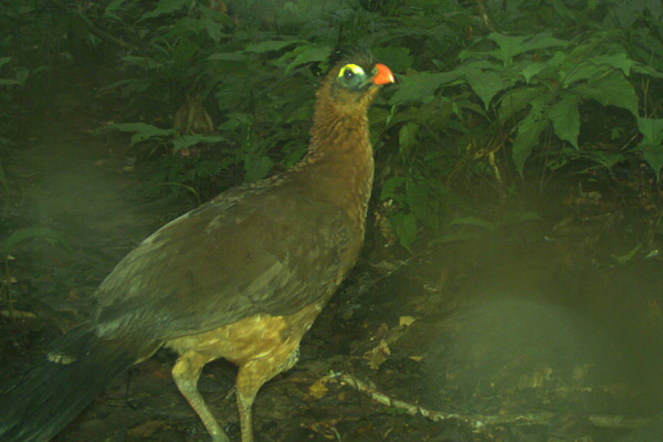 Nocturnal curassow (Nothocrax urumutum). Photo courtesy of Tiputini Biodiversity Station.