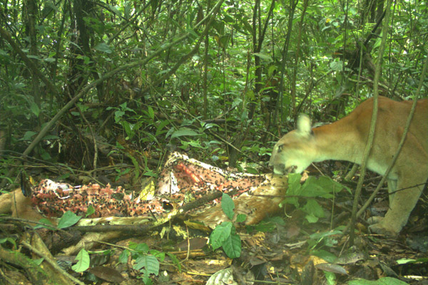 Puma with a deer carcass. Photo courtesy of Tiputini Biodiversity Station.