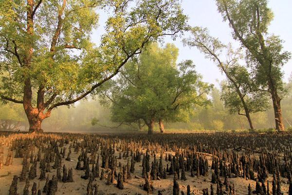 Mangroves in the Sundarbans. Photo by: Pranabesh Das.