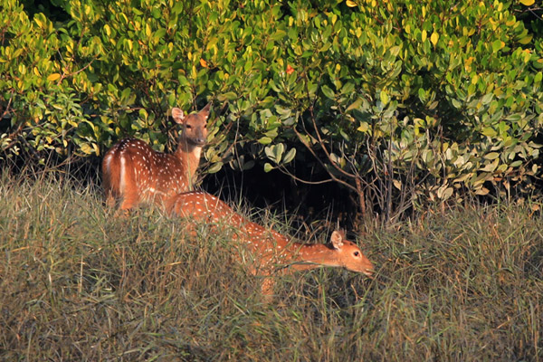 Chital deer in the Sundarbans, an important prey species for the Bengal tiger. The deer depend on the mangroves for survival, while the tiger hunt the deer. Photo by: Pranabesh Das.