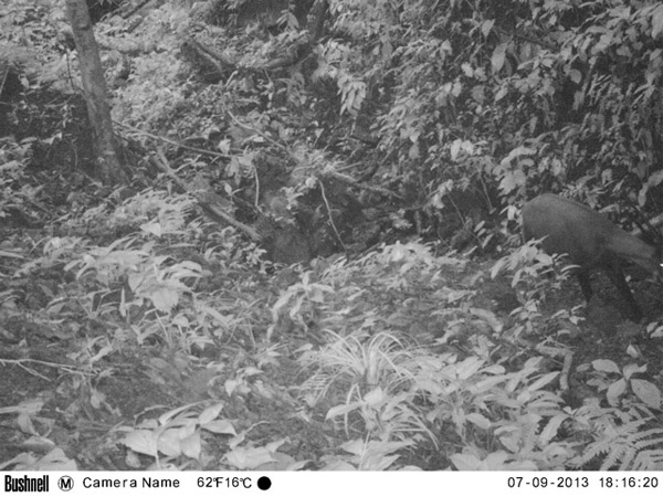 This camera trap photo with saola on the far right confirms the species existence in Vietnam. Photo by: WWF.