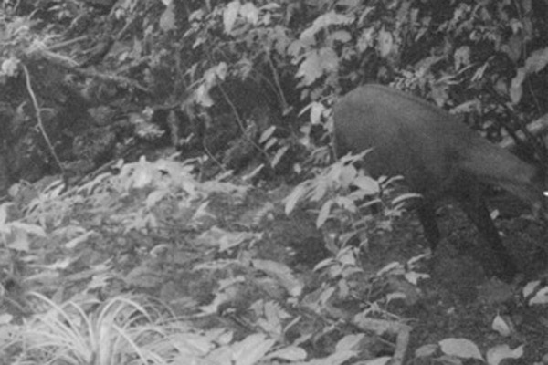 Close-up of WWF camera trap photo of saola taken in September. Photo by: WWF.