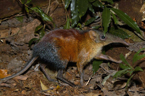Grey-faced sengi (Rhynchocyon udzungwensis) in Udzungwa Mountains National Park in Tanzania. This species is listed as Vulnerable by the IUCN Red List. Photo by: Francesco Rovero.