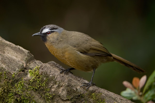 The black-chinned laughingthrush (Strophocincla cachinnans) in the Western Ghats in India. Photo by: Kalyan Varma.