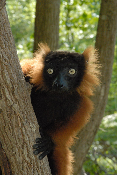 Red-ruffed lemur (Varecia rubra). Madagascar is home to three sites on the list. Photo by: R.A. Mittermeier.