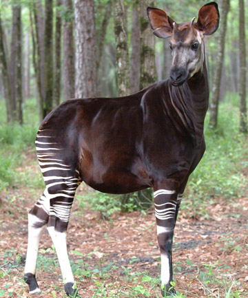 Okapi. Photo by: Bob Jenkins.