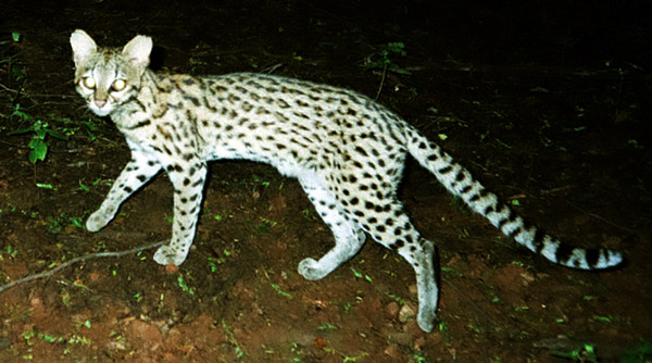 Leopardus tigrinus is found in the cerrado and Caatinga regions of Brazil and is actually the lesser-known of the two tigrinas. Photo by: Projeto Gatos do Mato - Brasil/Project Wild Cats of Brazil.