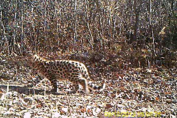 Amur leopard cub. Photo by: Forestry Bureau of Jilin Province.