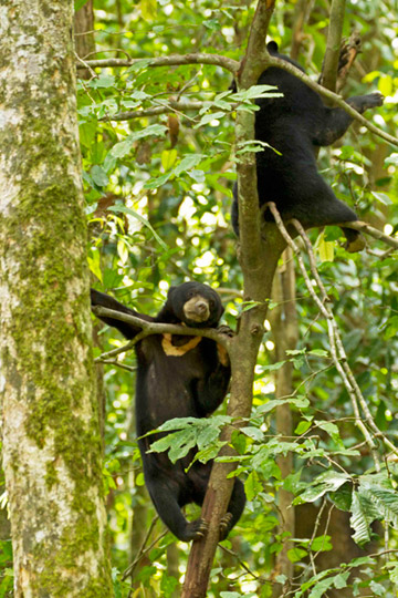Adept climbers, sun bears enjoying the heights at BSBCC. Photo by: Jocelyn Stokes.