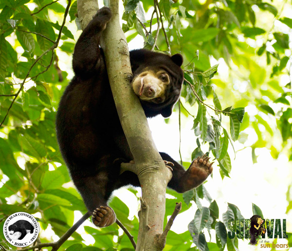 Sun bear climbing high at BSBCC. Photo by: Jocelyn Stokes.