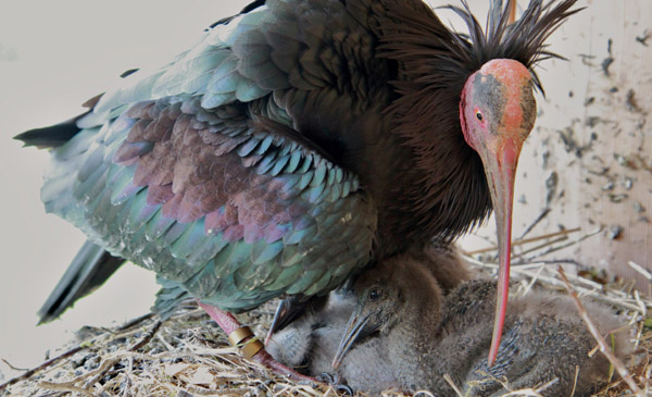 Northern bald ibis with chicks. Photo by: Waldrappteam.