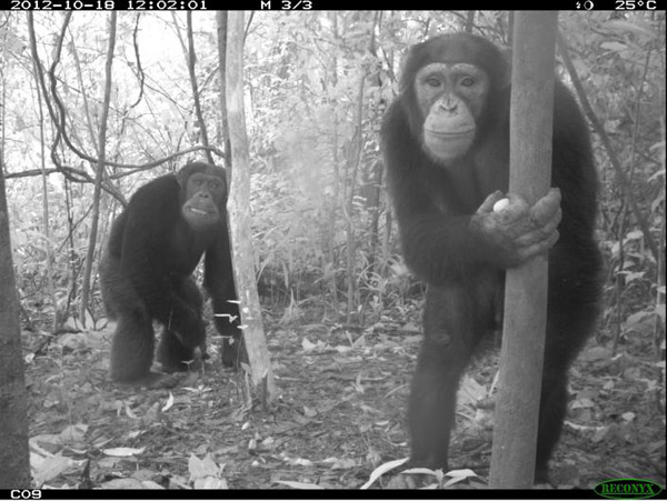 Cheeky chimpanzees in Sierra Leone received a 'commended' in the Animal Portraits. Photo by: Nicolas Tubbs/ARTP and GRNP, Sierra Leone.