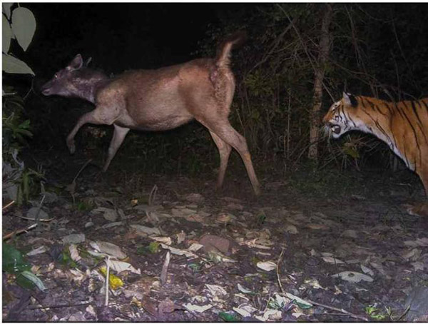 An astounding image of a tiger in pursuit of a sambar deer in India wins Runner Up for Animal Behavior. Photo by: by Bivash Pandav/Ecology of Large Mammals in Shivalik Terai Landscape, Wildlife Institute of India.