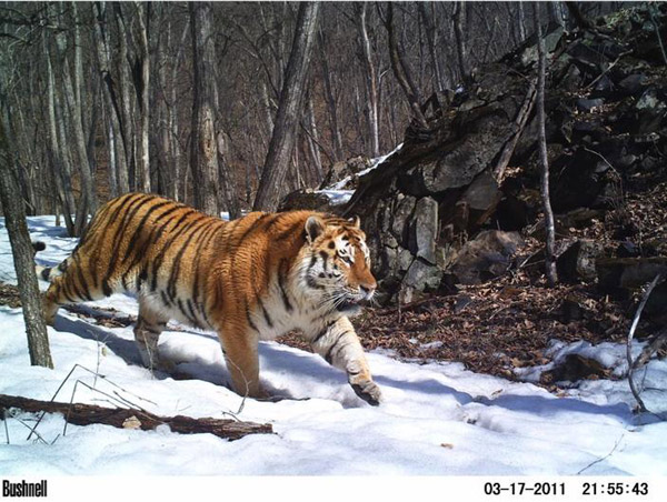 This image of an Amur tiger has won the Animal Portrait category for the BBC Wildlife Camera-Trap Photo of the Year. Photo by: by Linda Kerley/Amur Tiger Conservation in Lazovskii Zapovednik and Adjacent Areas – ZSL, Russian Far East.