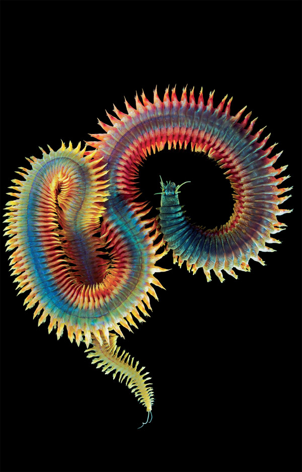 Segmentation, a distinguishing feature of the annelids is clearly visible here. Photo Alexander Semenov.