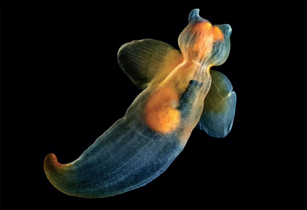 A sea angel, Clione limacine. In this image the grasping tentacles and chitinous hooks are retracted. Photo by: Alexander Semenov.
