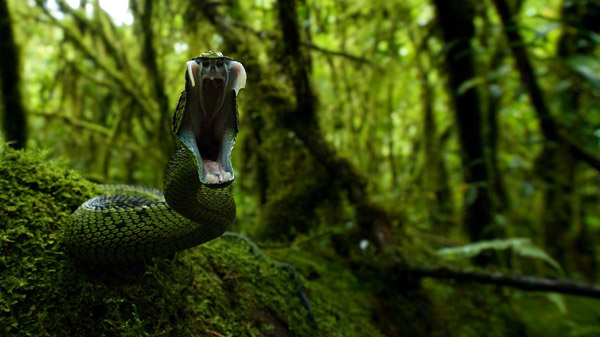 Bush viper chasing the photographer. Photo by: Michele Menegon.