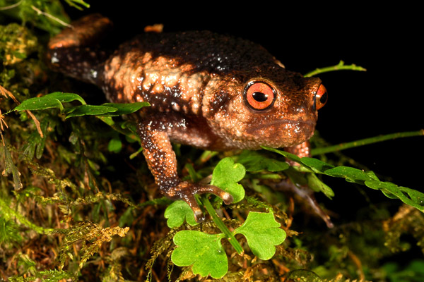 Callulina meterora, a recently described frog from the Nguru Mountains, Tanzania. Photo by: Michele Menegon.